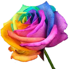 Multi coloured rose - Learn Flower Readings